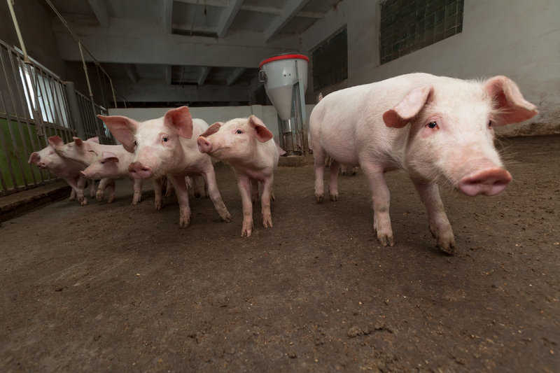 http://www.dreamstime.com/stock-photos-pig-farm-young-pigs-image30356903
